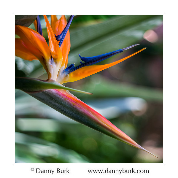 Bird of Paradise (Strelitzia), Potawatomi Conservatory, South Bend, Indiana