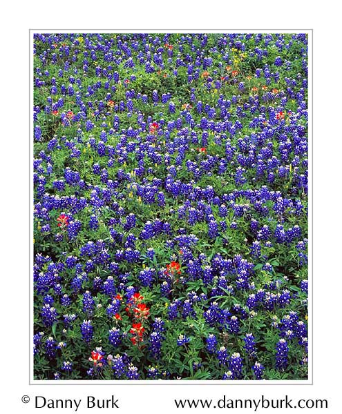 Picture: Bluebonnets and paintbrush, Brenham, Texas