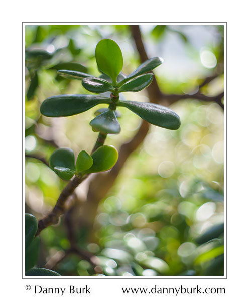 Jade Plant, Potawatomi Conservatory, South Bend, Indiana