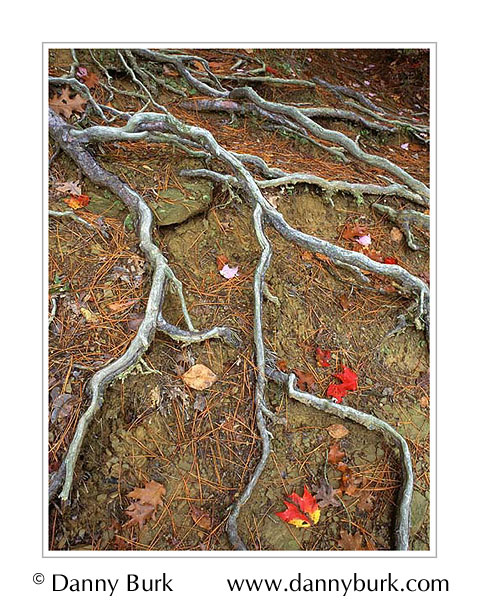Picture: Colorful fall maple leaves and roots, Brown County State Park,Indiana