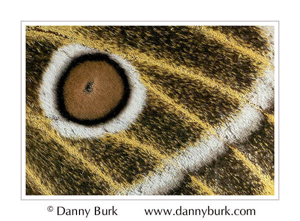 Picture: Bunaeopsis zaddachi, brown gold butterfly wing abstract