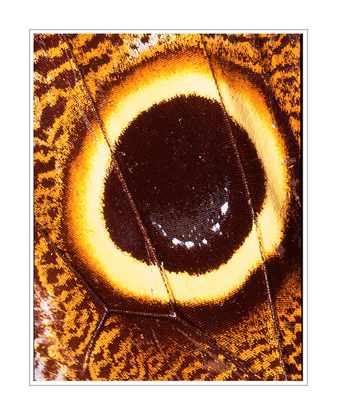 Picture: Caligo uranus, orange brown butterfly wing abstract