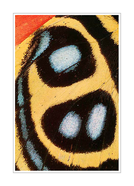 Picture: Callicore species, gold blue butterfly wing abstract