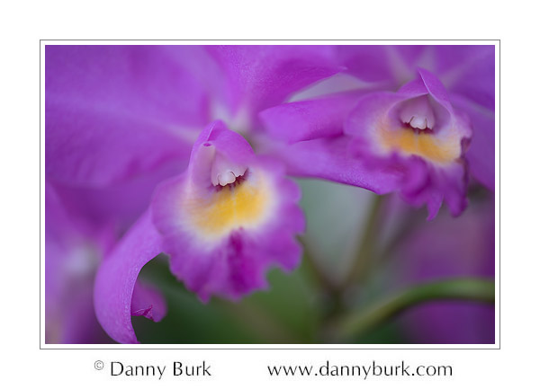 Purple Cattleya orchid, Northern Indiana Orchid Society show