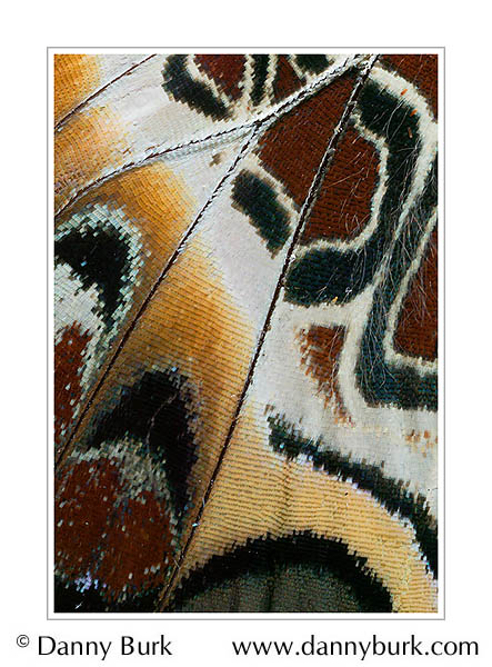 Picture: Charaxes pollux, red orange butterfly wing abstract