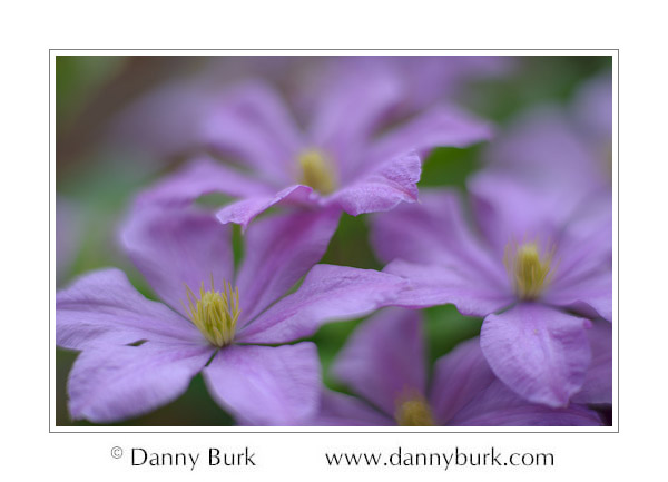 Purple clematis, South Bend, Indiana