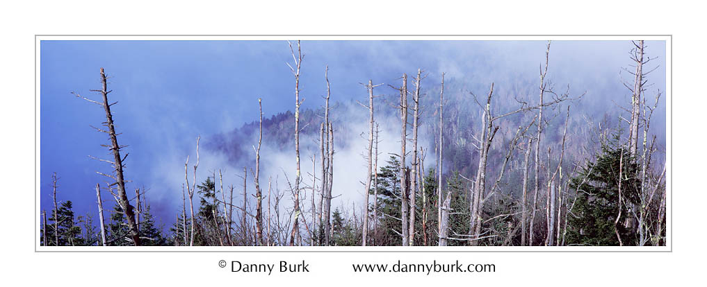 Picture: Dead Fraser Firs, Clingman's Dome, Great Smoky Mountains National Park, Tennessee