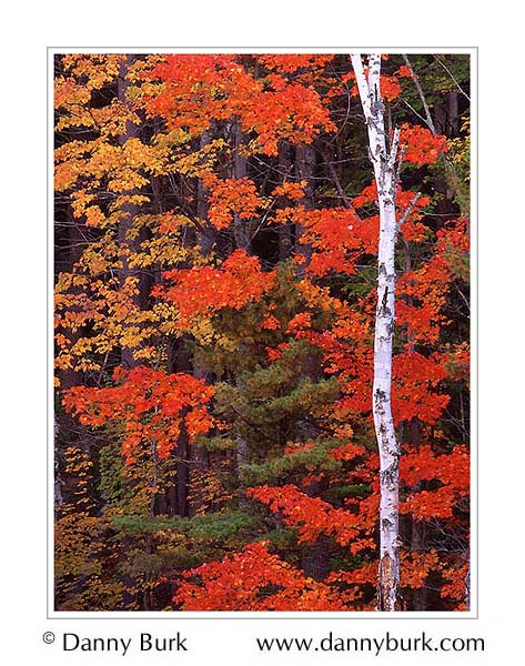 Picture: White Birch and Maples, Council Lake, south of Munising, Michigan