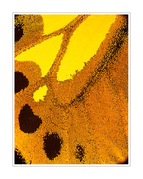 Picture: Ornithoptera croesus croesus, orange yellow butterfly wing abstract