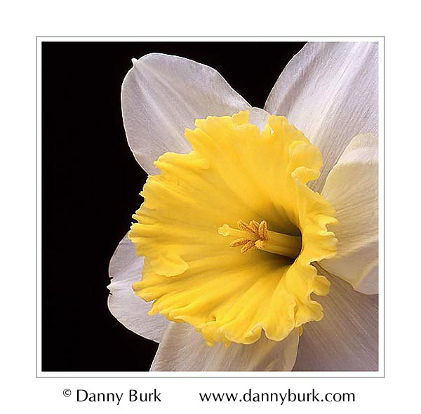 Picture: Daffodil yellow white flower portrait