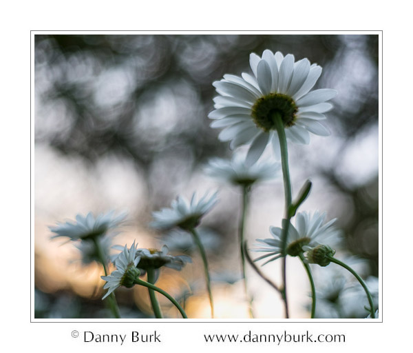 Daisies at dusk, South Bend, Indiana