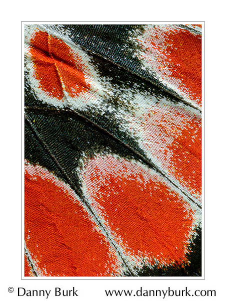 Picture: Delias argenthona, red black butterfly wing abstract