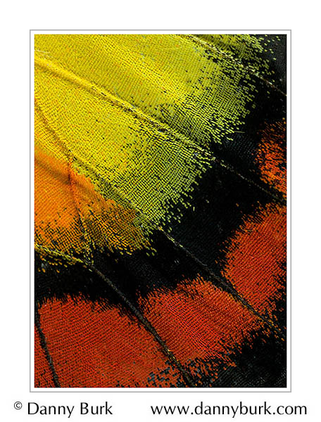 Picture: Delias bagoe, red yellow butterfly wing abstract