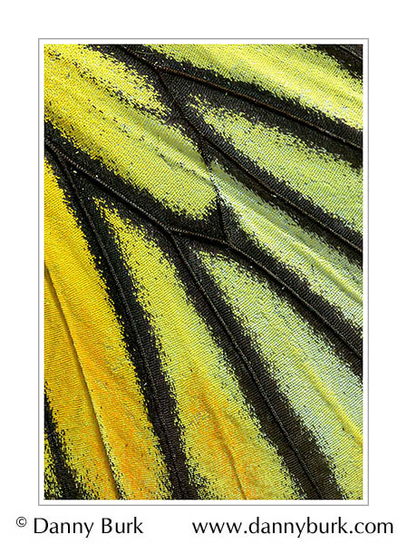 Picture: Delias hyparete aurago, yellow green butterfly wing abstract