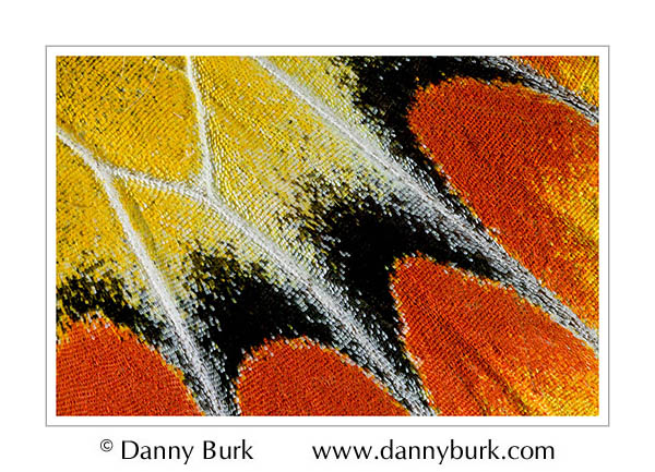 Picture: Delias sambawana everetti, red yellow butterfly wing abstract