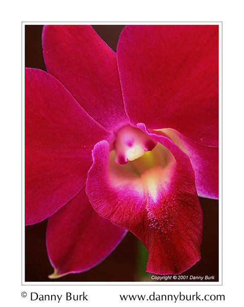 Picture: Dendrobium orchid pink red flower portrait