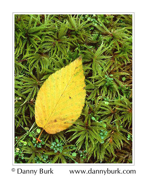 Picture: Beech leaf and club moss, Elkmont, Great Smoky Mountains National Park, Tennessee