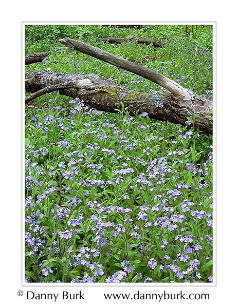 Picture: Forget-me-not, Peninsula State Park, Door County, Wisconsin