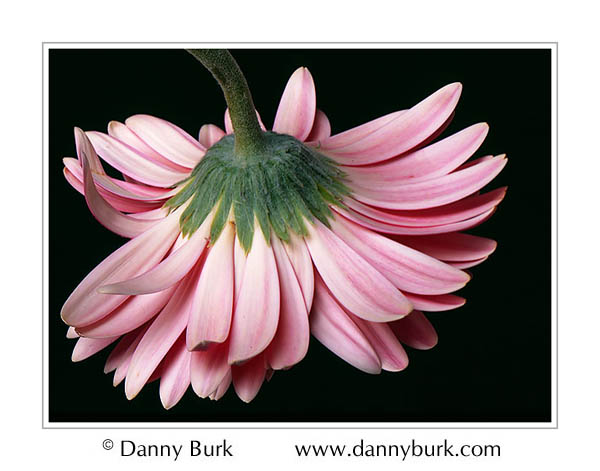Picture: Fuschia Gerbera daisy flower portrait