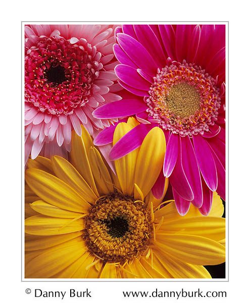 Picture: Colorful Gerbera daisies pink yellow flower portrait