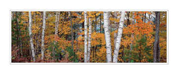 Picture: White birches, Halfmoon Lake, Hiawatha National Forest, Upper Peninsula, Michigan