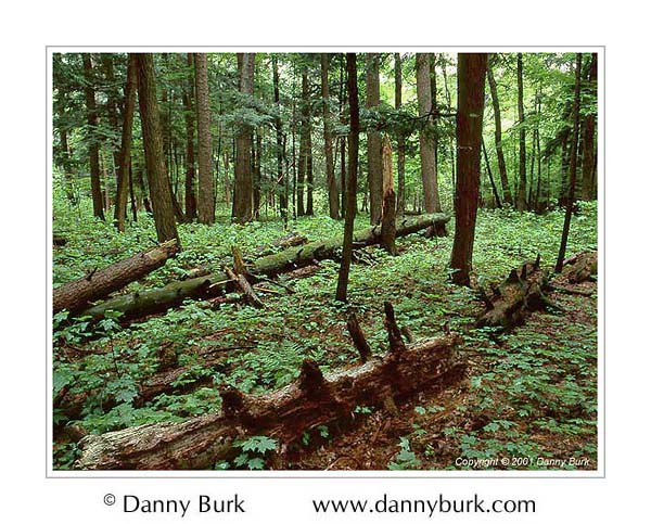 Picture: Old growth forest, Hartwick Pines State Park, Michigan