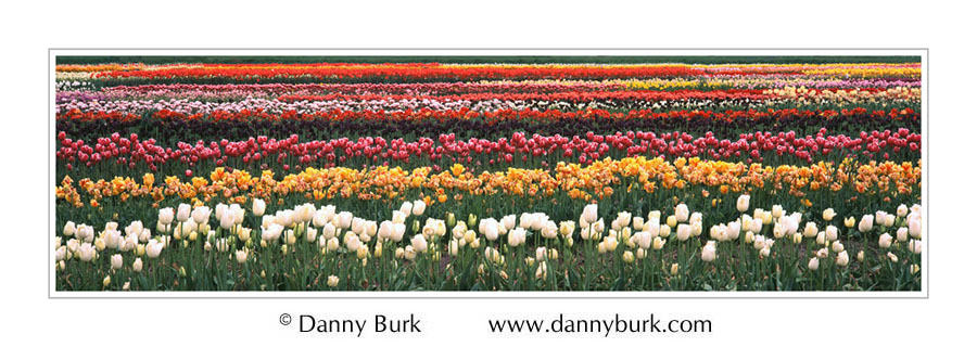 Picture: Tulip Farm, Holland, Michigan, panorama