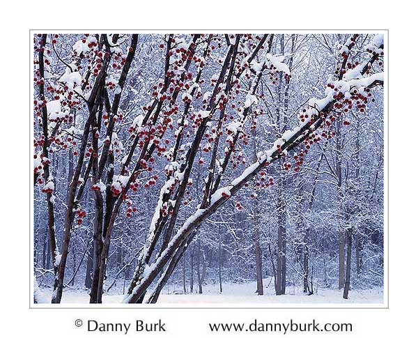 Picture: Crabapple tree in snow, South Bend, Indiana