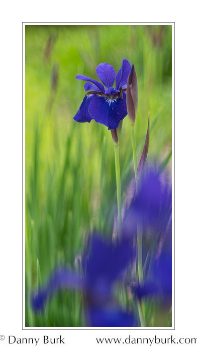 Japanese Iris, South Bend, Indiana