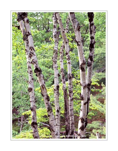Picture: White birches, Ludington State Park, Michigan