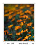 Marigolds, South Bend, Indiana
