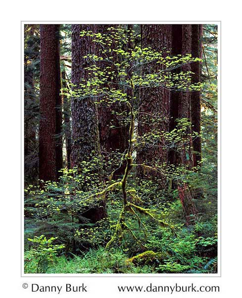 Picture: Vine Maple and Douglas-fir, Sol Duc forest, Olympic National Park, Washington