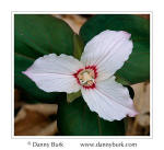 Picture: Painted Trillium (Trillium undulatum), Great Smoky Mountains National Park, North Carolina