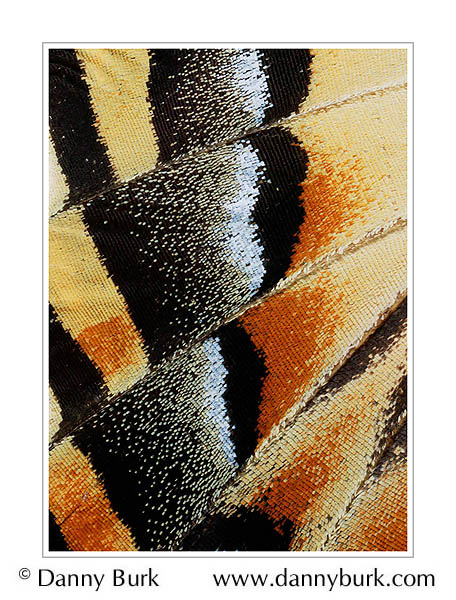 Picture: Papilio multicaudatus, yellow orange butterfly wing abstract