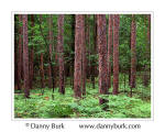 Picture: Red pines and ferns, Pinery Provinicial Park, Ontario, Canada