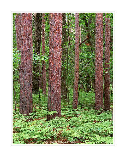 Picture: Red pines and ferns, Pinery Provincial Park, Ontario, Canada