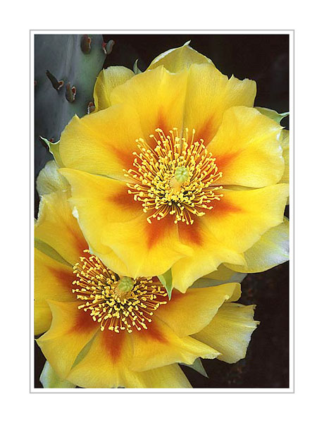 Picture: Prickly Pear cactus, Northern Indiana