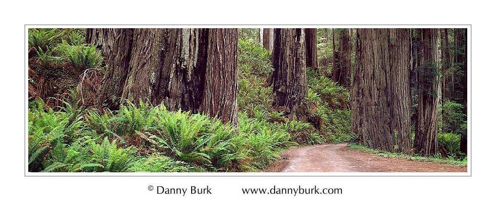 Picture: Redwoods and sword ferns, Cal-Barrel Trail, Redwood National Park, California - Panorama