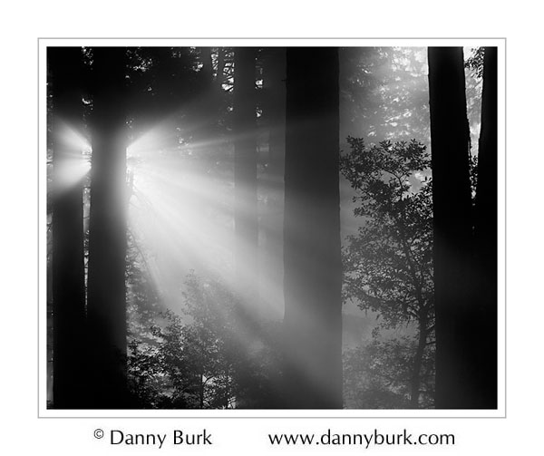 Picture: Sun burning through morning fog, Lady Bird Grove, Redwood National Park, California