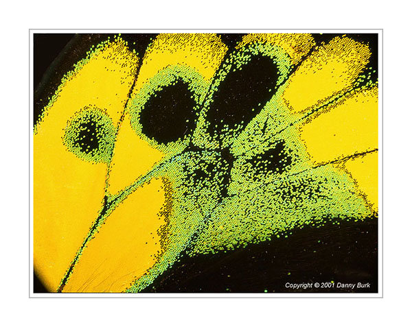 Picture: Ornithoptera rothschildi, green yellow butterfly wing abstract