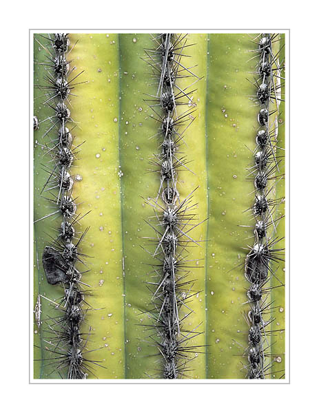 Picture: Saguaro ribs, Saguaro National Park, Arizona