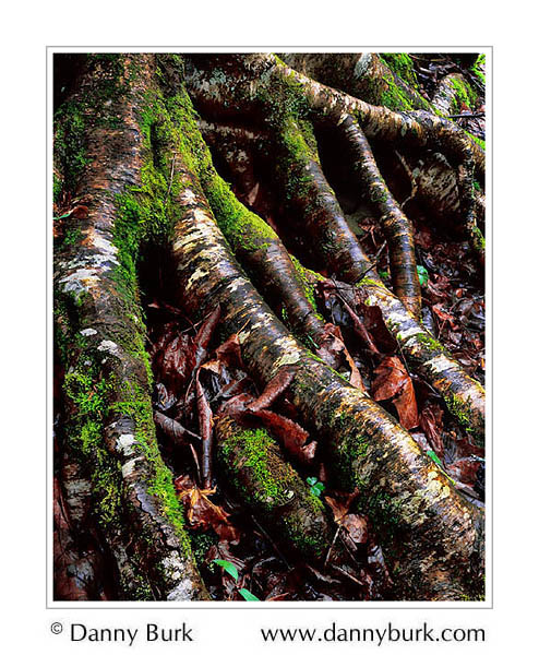 Picture: Gnarled roots in rain, Cosby, Great Smoky Mountains National Park, Tennessee