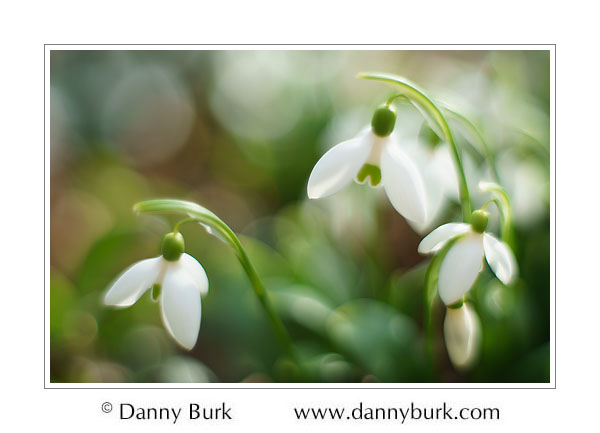Snowdrops, South Bend, Indiana