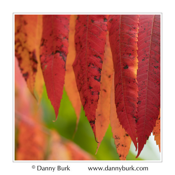 Picture: Autumn Sumac, South Bend, Indiana