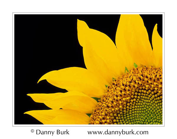 Picture: Sunflower yellow green closeup flower portrait