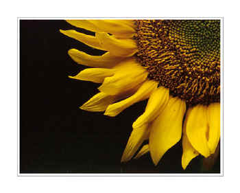 Picture: Sunflower block sequence, yellow brown closeup flower portrait