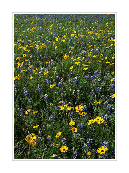 Picture: Bluebonnets and daisies, Llano, Texas