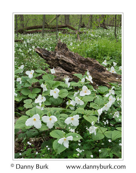 Picture: Large white trillium, Bendix Woods County Park, St Joseph County, Indiana
