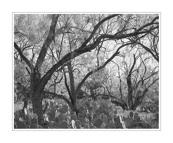 Picture: Willows and Prickly Pear Cactus, Inks Lake State Park, Texas