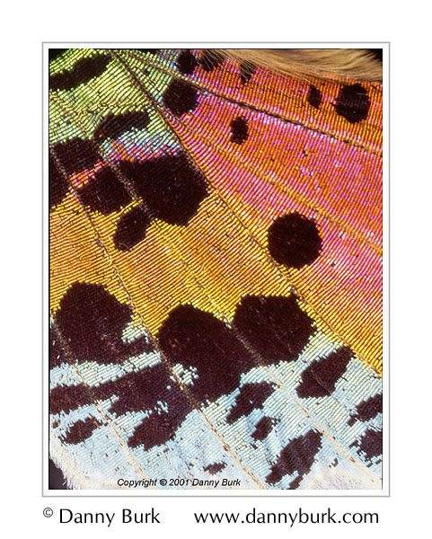Picture: Urania riphaeus (moth), pink gold butterfly wing abstract